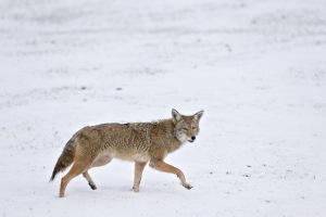 coyote4
