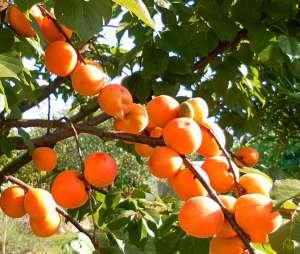 apricot-branch