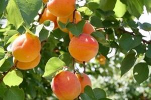 apricots5